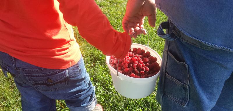 Picking raspberries at Anderson Orchard
