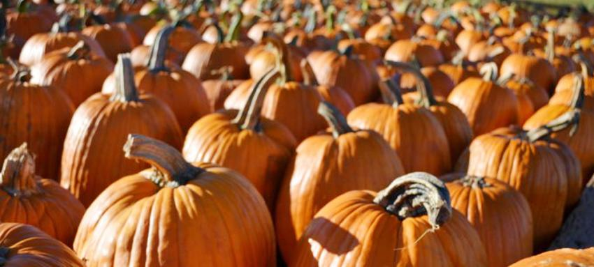Chiles Orchard Pumpkins