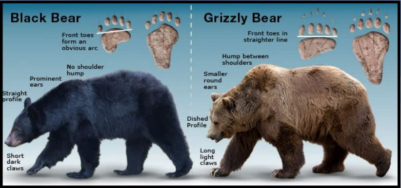 identification chart for black and brown bears