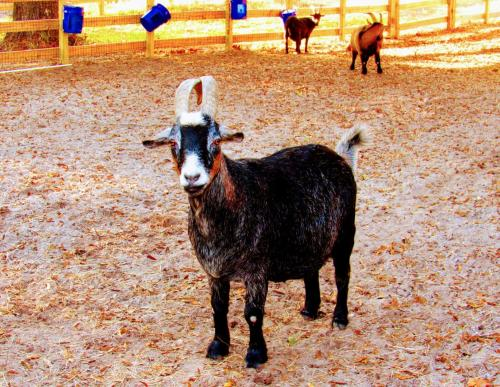 Goat at Poplar Grove Plantation