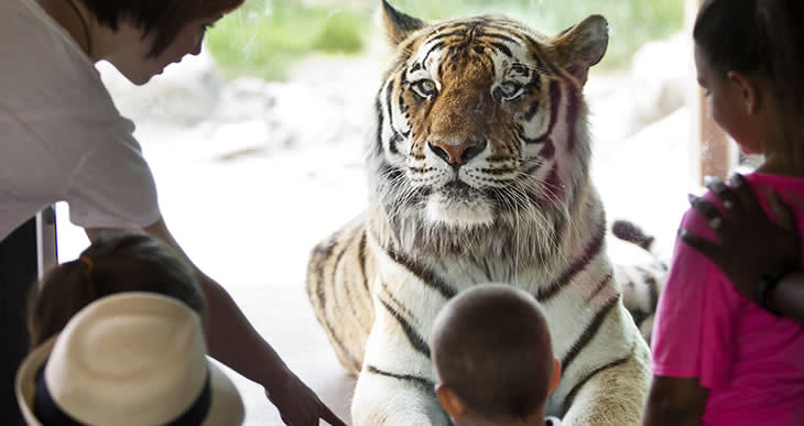 Getting to see the tiger up close at Sedgwick County Zoo