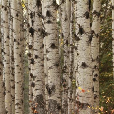 Trembling Aspens in Riding Mountain National Park