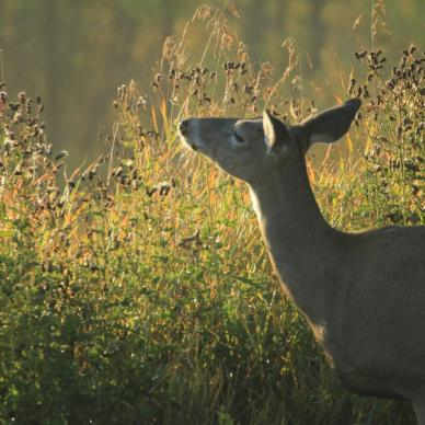 White tailed deer in autumn at Riding Mountain National Park