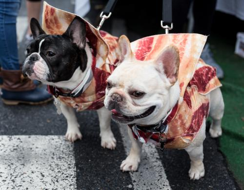 French Bulldogs Dressed in Bacon Costumes at PA Bacon Fest