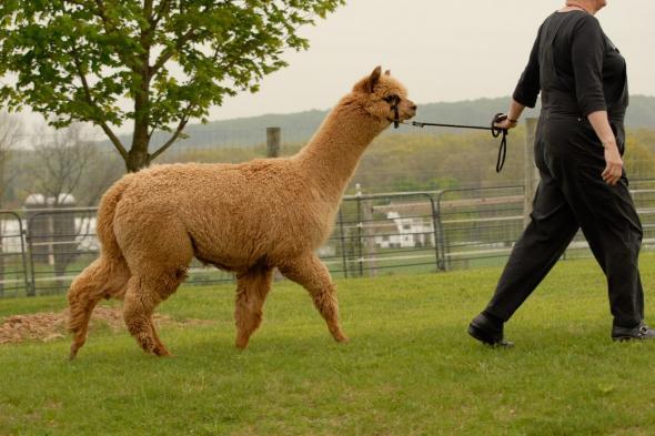 K-ran Alpacas 1