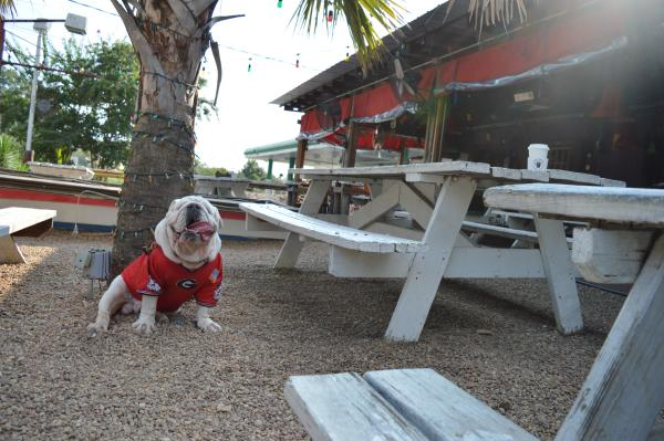 Munson the bulldog sitting in the outdoor dining area at Cali n' Titos in Athens, GA