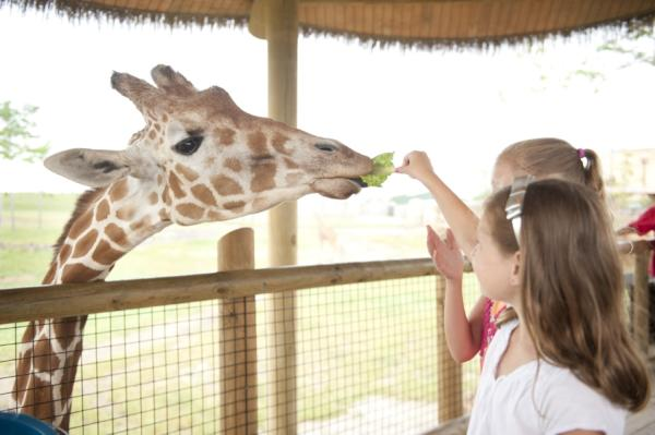 Two girls feedings a giraffe lettuce at the Columbus Zoo's Heart of Africa
