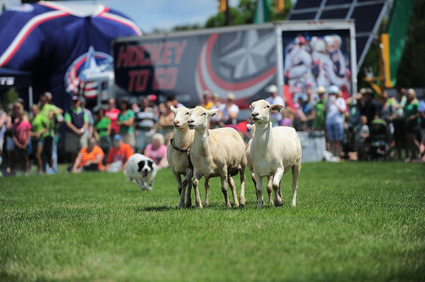 celtic sports sheep