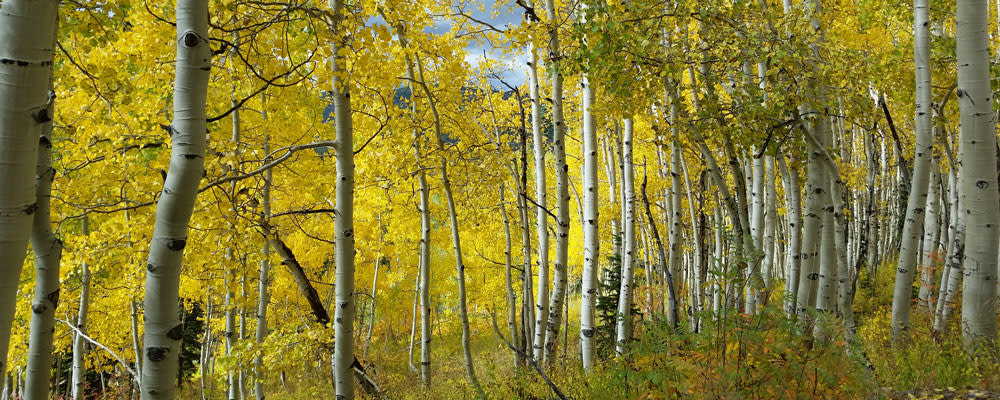 Aspens turn gold in the fall