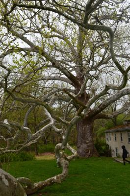 The Pawling Sycamore may be a witness to the American Revolution