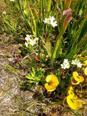 Venus flytrap in bloom at Stanley Rehder Garden