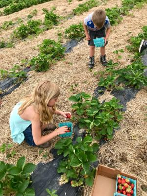 U-pick strawberries is quickly becoming a popular summer activity at Beasley's Orchard.