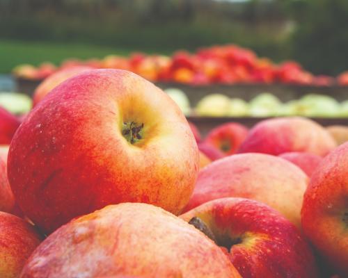 Apples at BC Tree Fruits