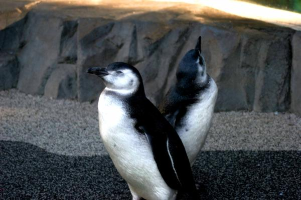 A pair of young penguins entertain visitors at the Aquarium of the Pacific. Photo courtesy of Hugh Ryono