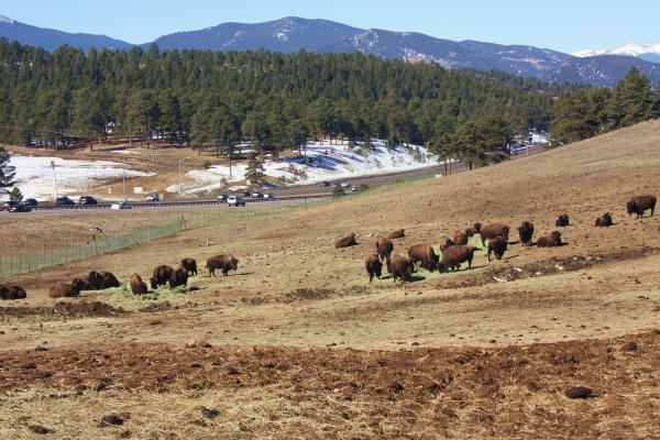 A herd of bison near Genesee Park, Colorado