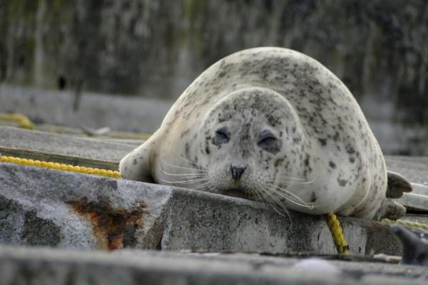 Harbor Seal at Tyee Marina (Photo: Alex Balansay)