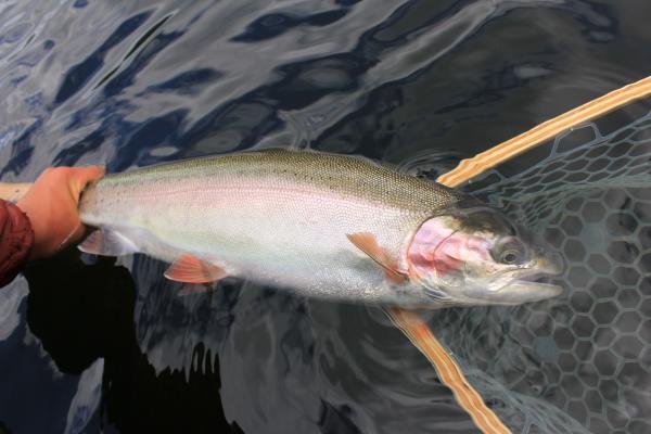 Jackco Lake Trout