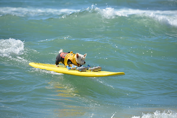2017 Surf City Surf Dog