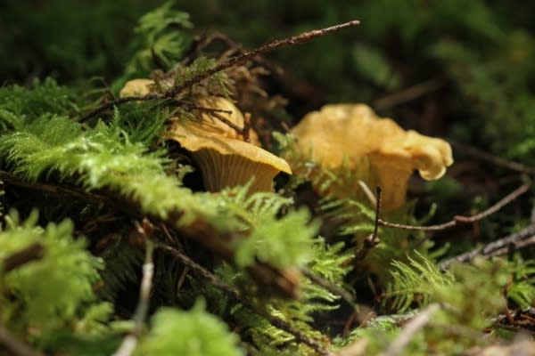 Pacific Golden Chanterelle by August Jackson