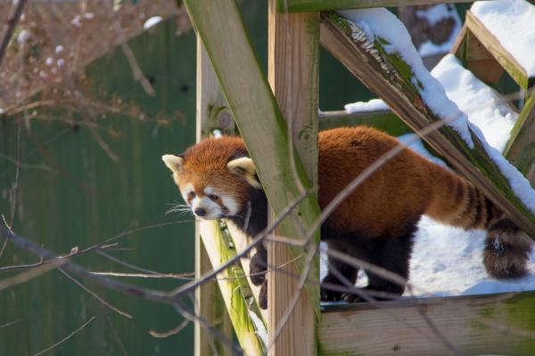 Red Panda between wood posts at the Roger Williams Park Zoo