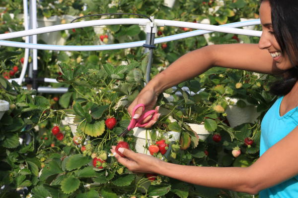 Strawberry Fields Hydroponic Farm - girl picking strawberries with scissors