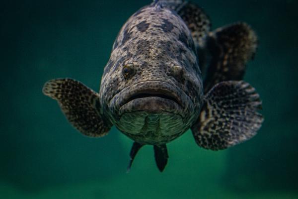 Mississippi Aquarium Grouper