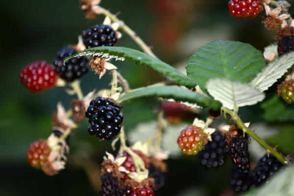 Blackberries by Colin Morton