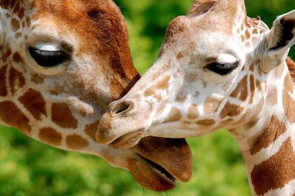 Turtle Back Zoo Giraffes