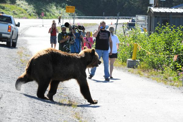 humans stand too close to a brown bear