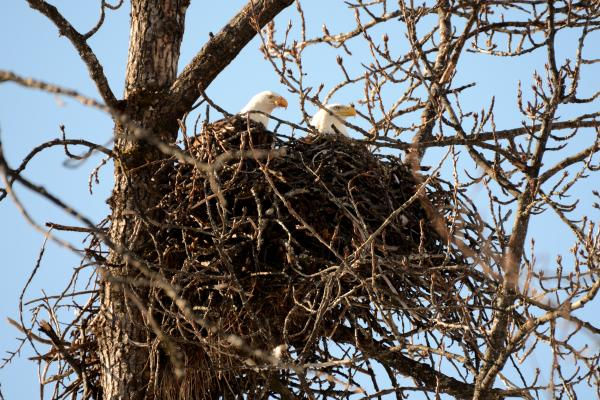 two adult bald eagles in a nest