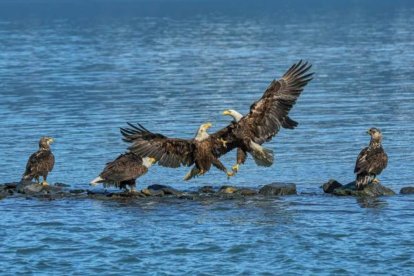 two adult bald eagles fight for a salmon as others watch