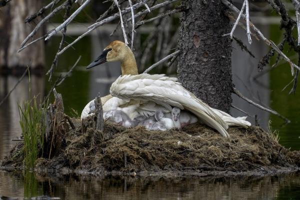 a swan on a nest with cygnets
