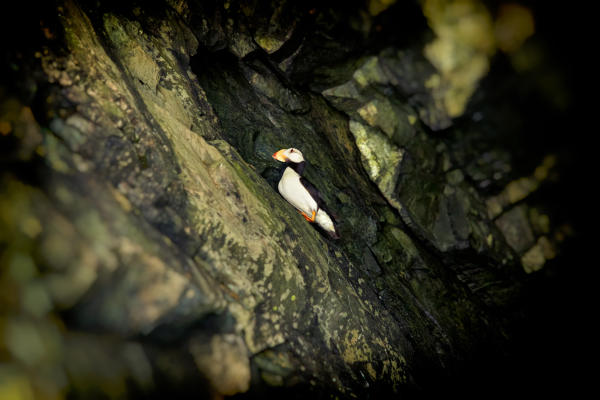 a horned puffin on a rock wall