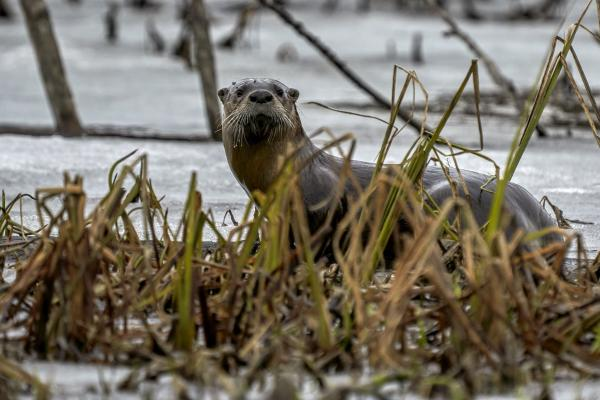 a river otter in a wetland