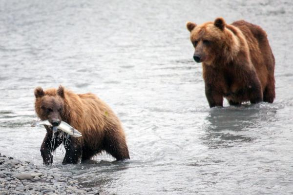 brown bears with a salmon in a river