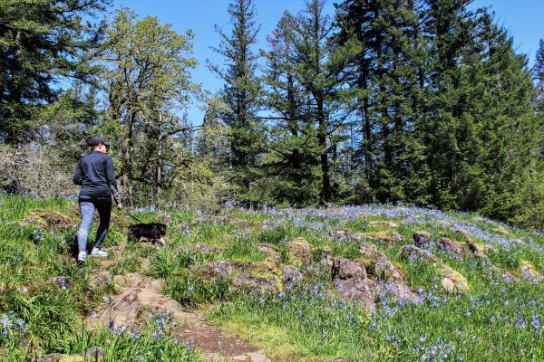 Camas lily fields