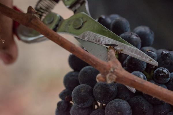 Crop thinning in Napa Valley