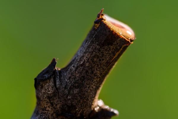 Pruning Vines in Napa Valley