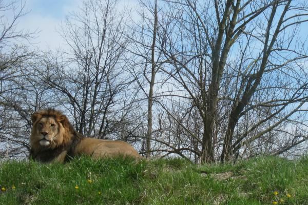 Fort Wayne Children's Zoo Bahati Lion