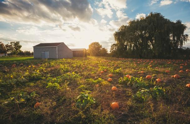 Country Pumpkin Field