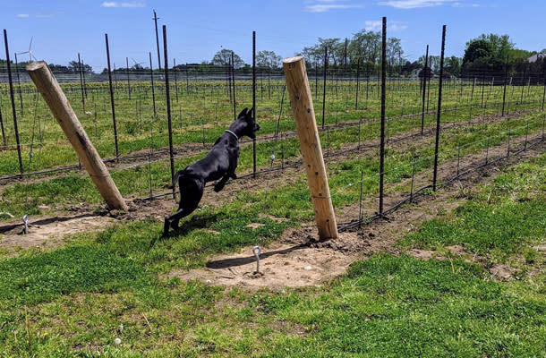 Hounds of Erie Vineyard