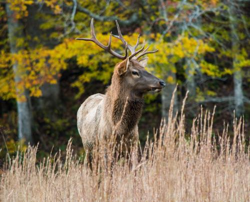 An elk during fall color season at Cataloochee Valley in Great Smoky Mountains National Park.