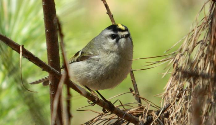Albany Pine Bush bird on a branch