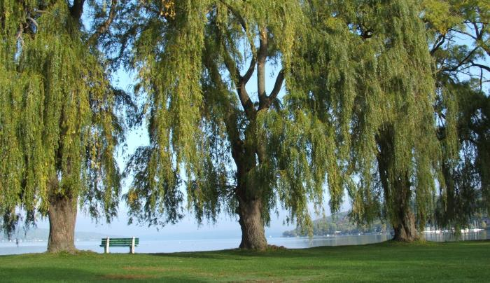 Lakefront Willows.JPG