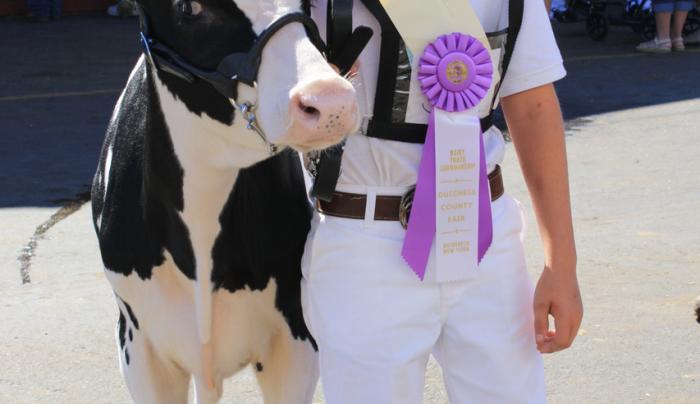 Dc Fair - cow