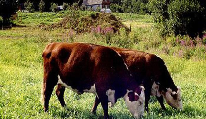 CowsField.jpg