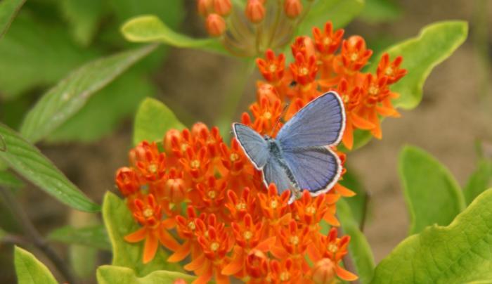 Albany Pine Bush butterfly on orange flowers