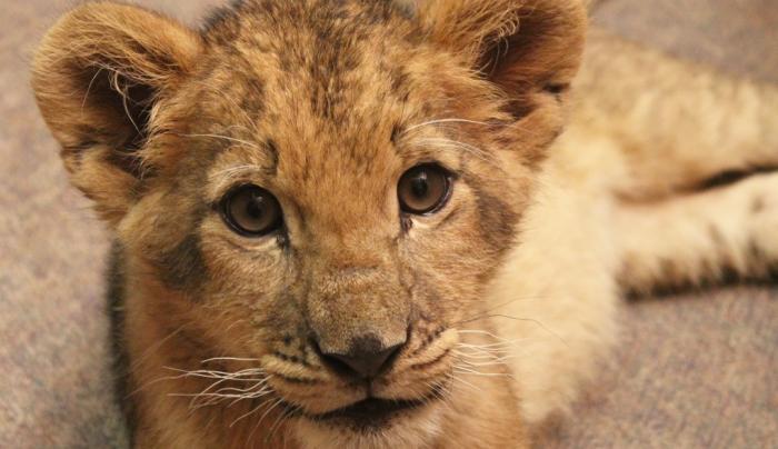 Bisa: Lion Cub
