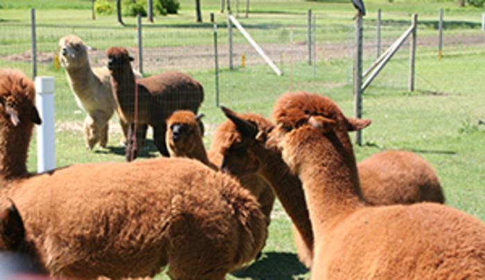 Part of their alpaca herd