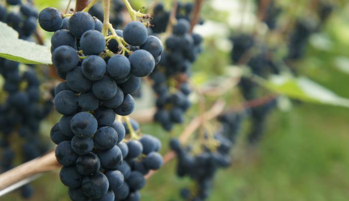 Frontenac Grapes